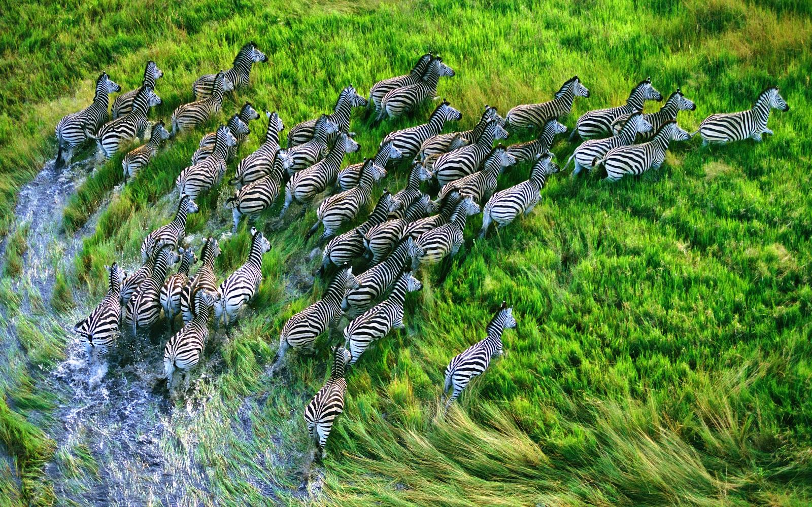 http://3.bp.blogspot.com/-bZy_c8eC_HA/T-D8ZkCm6RI/AAAAAAAABJY/Zrcy5w4Nmpw/s1600/Zebras.jpg