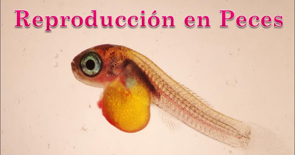 reproduccion en peces enigmas de la vida