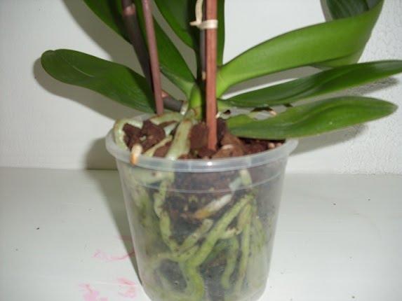 Plantas y flores plantas especies orqu deas - Como cuidar orquideas en maceta ...