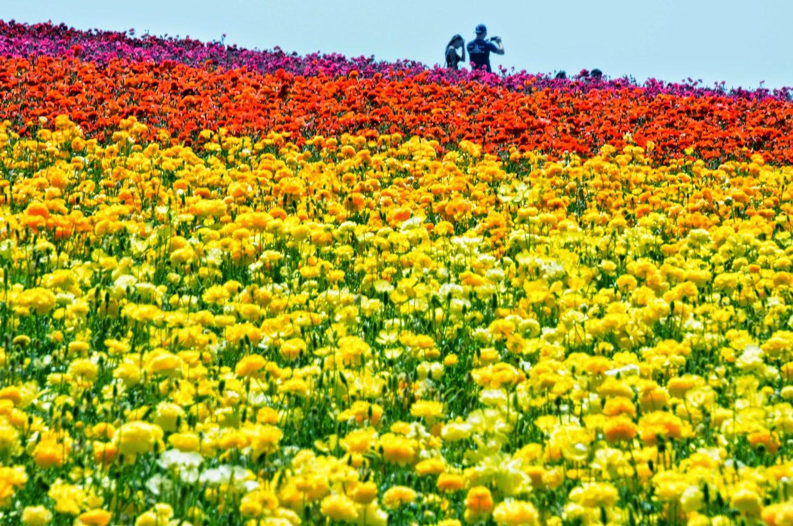 Go Hike It The Carlsbad Flower Fields Hiking Trail