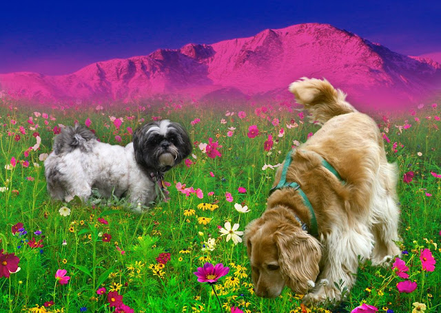 15. Mimi and Breezer smelling the flowers in a large field at the foot of Pikes Peak mountain by Beverly & Pack