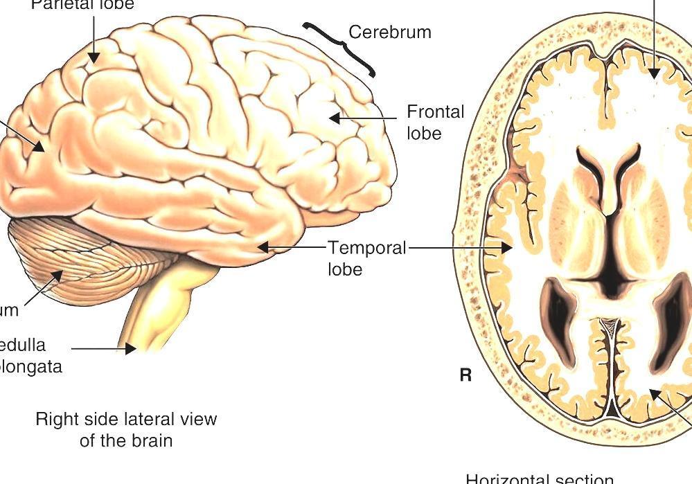Anatomical Plane Sagittal View Of Human Brain