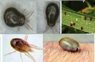 What is the shape of mites