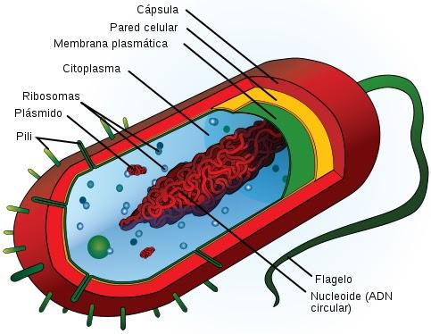 Ilustración de la Célula Procariota indicando partes
