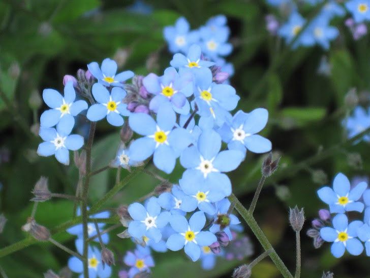 Forget-Me-Nots From England
