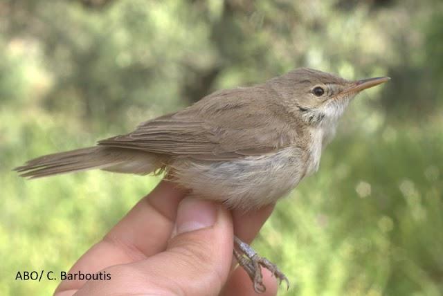 Νέο είδος πουλιού για την Ελλάδα ανακαλύφθηκε στα Αντικύθηρα!