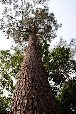 Pohon jati belanada / pinus