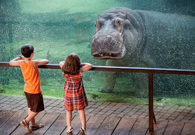 Hippo HD Wallpaper, Free HD Wallpaper, Animals HD Wallpaper