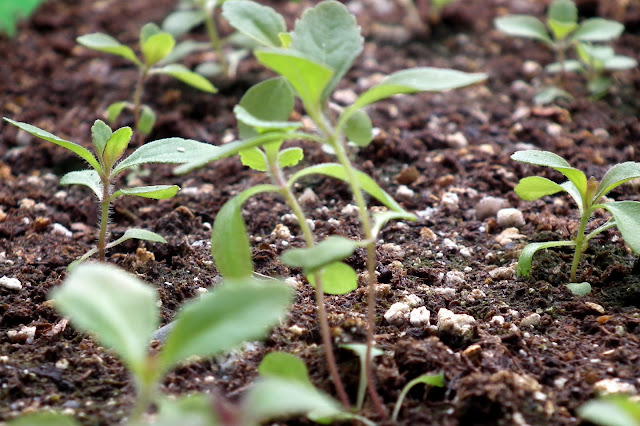 Stevia Rebaudiana small plants potted in a raised bed