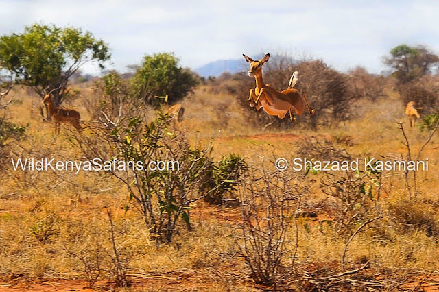Impala Jumping, Tsavo East, Wild Kenya Safaris, Tsavo Safari, Kenya Safari, www.wildkenyasafaris.com, Wildlife Diaries