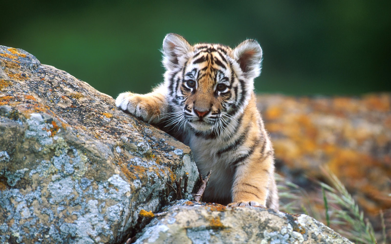 Tiger Images And Mobile Wallpapers
