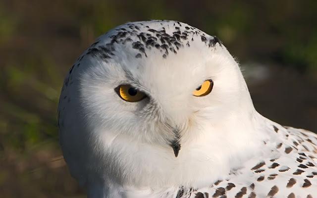 Búho Lechuza blanco imagenes de aves exoticas