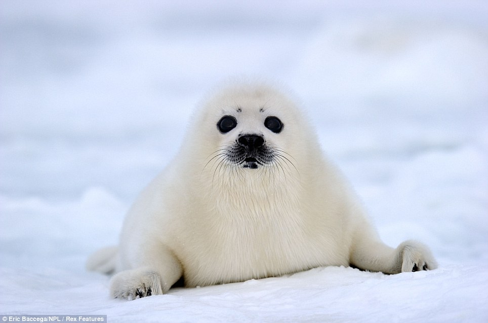 What an ice smile: Adorable two-week-old seal pups show ...
