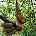 Mengapa Orangutan Harus Dilindungi