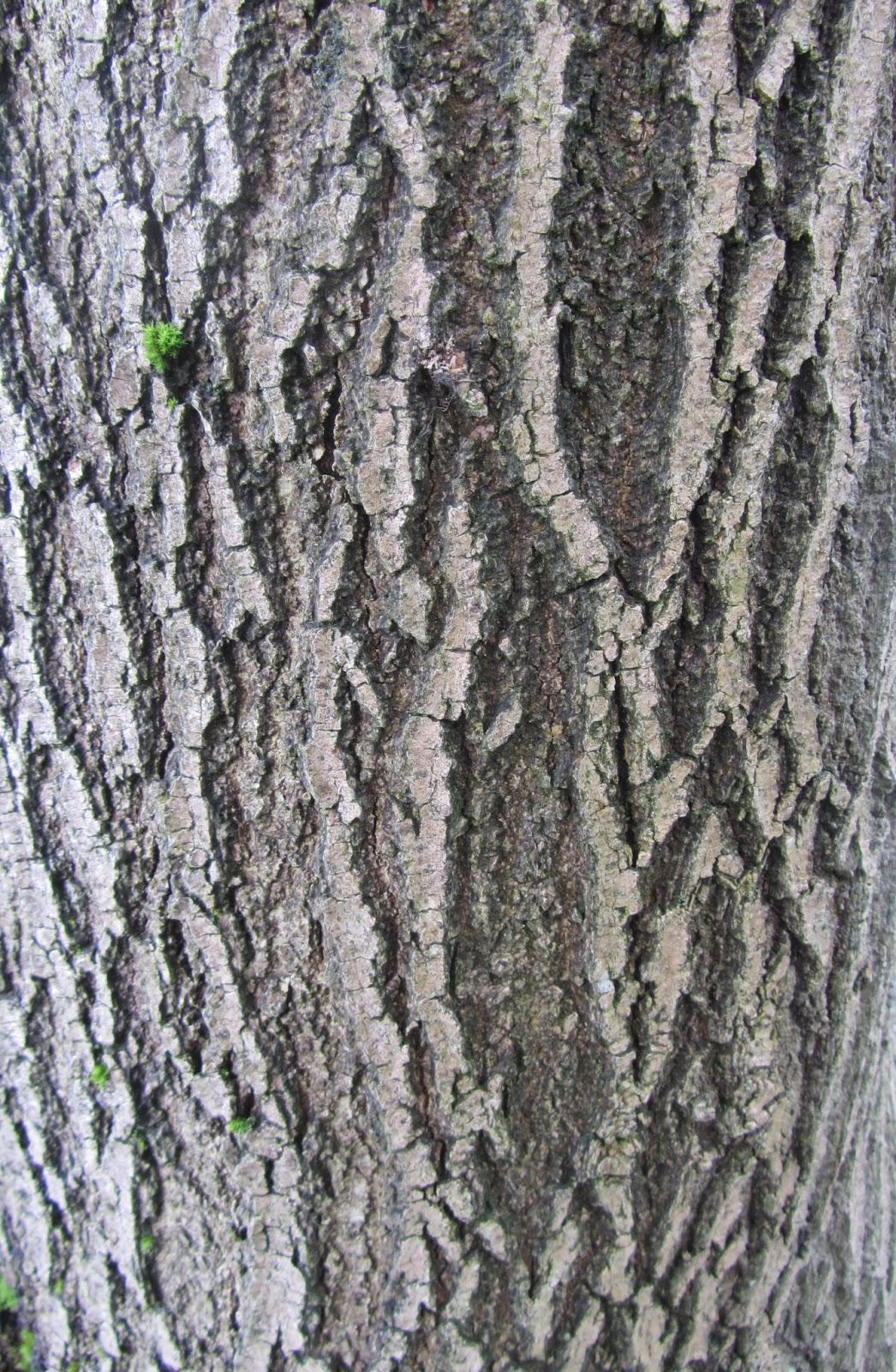 Ash Wood Bark ~ Fraxinus excelsiour ash