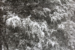 snow covered cedars