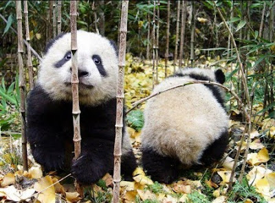 Beautiful Pandas pictures
