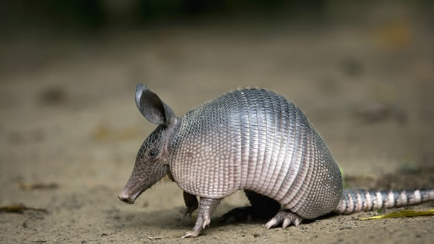 how to clean an armadillo shell
