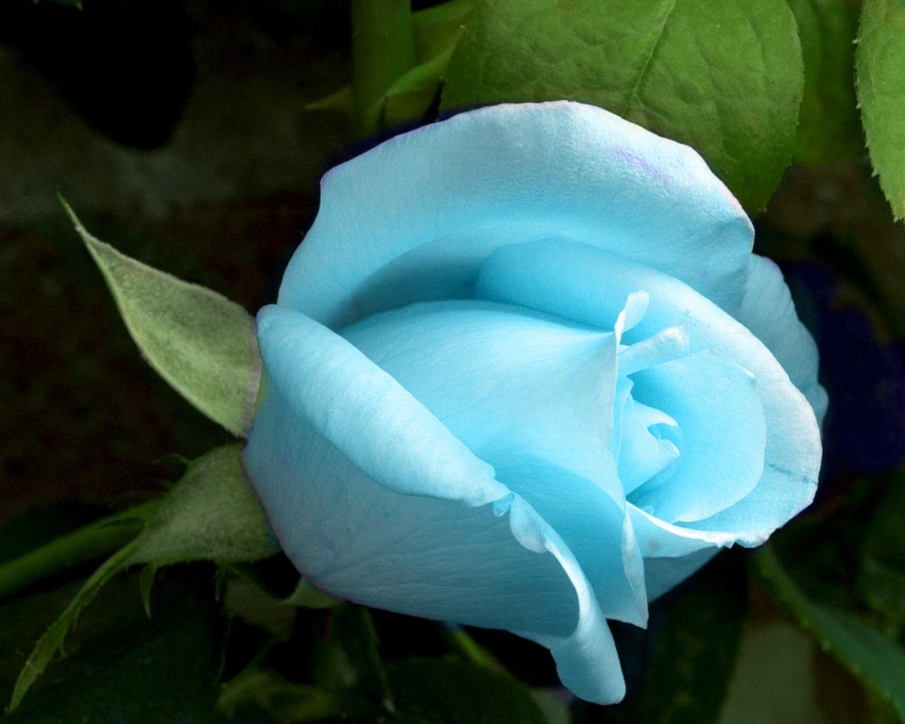http://3.bp.blogspot.com/-bd6KgqEJ1Sc/Tg3n3DHtm0I/AAAAAAAAA6w/yVjr0lC-b90/s1600/blue_rose.jpg