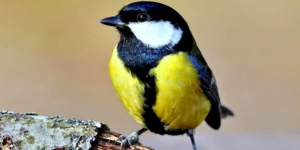 Chapim-real, o pássaro zumbi