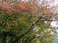 桜並木が紅葉