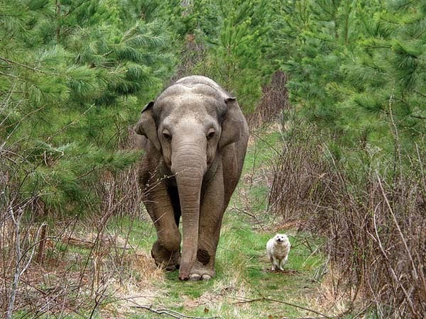 Here Are 24 Awesome Things You Didn't Know About Animals. #11 Just Made My Week. - Elephants show incredible empathy for others, even different species