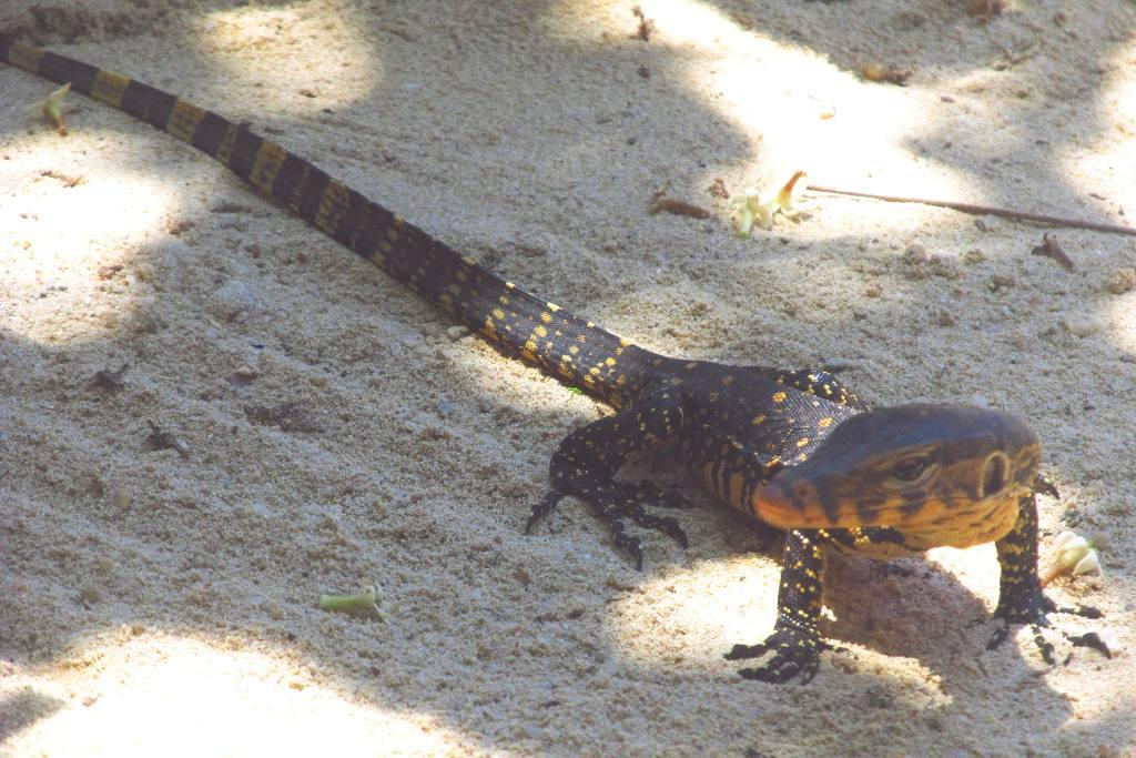 Verso l 39 india alle isole perhentian squali tartarughe for Tartarughe in amore