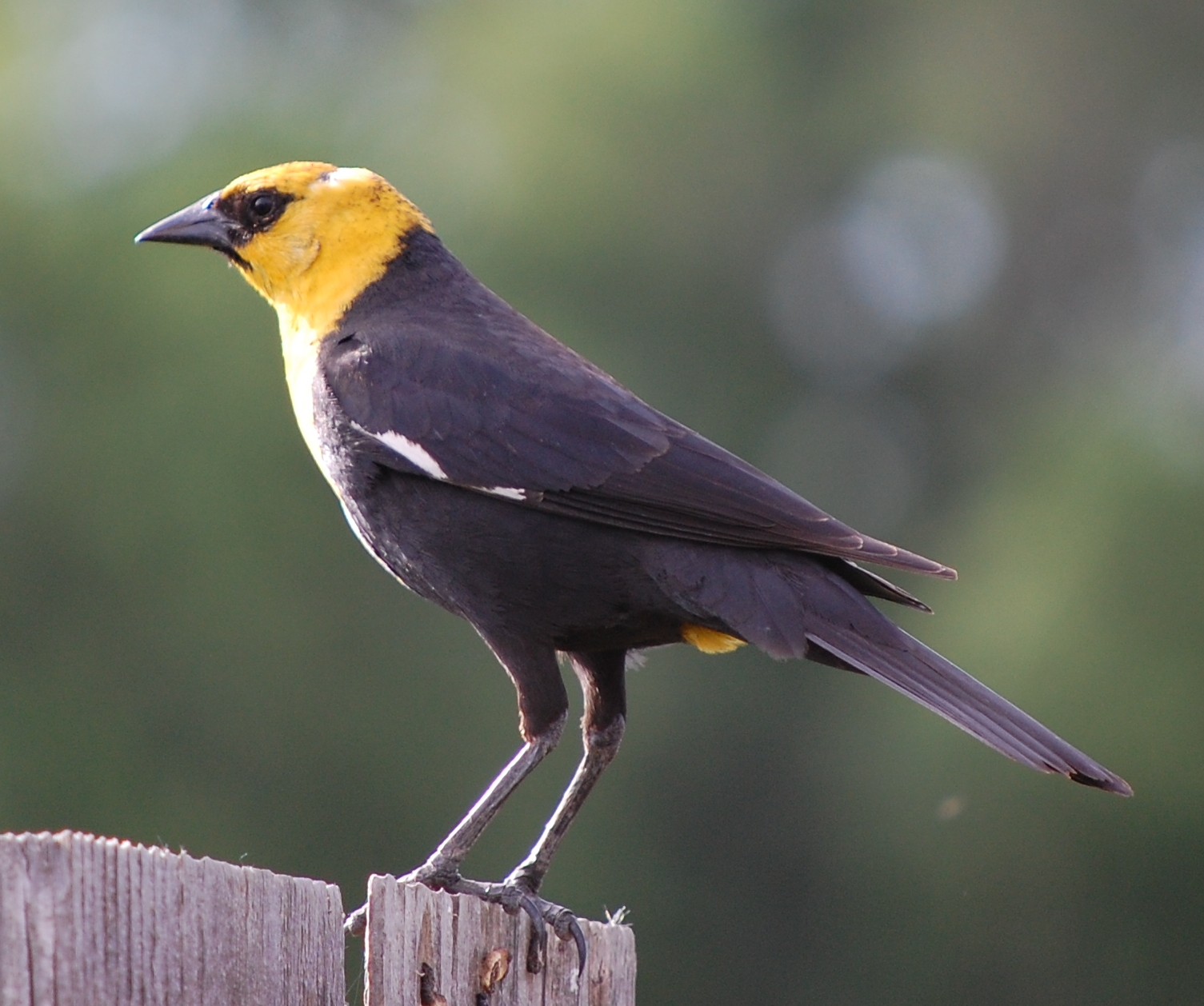 Yellow Headed Blackbird Teacher Treasure Hunte...