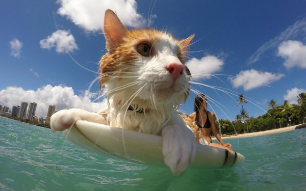 kuli surfing cat