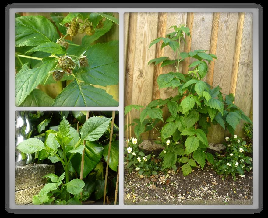 My backyard garden spring summer gardening  raspberry Rubus idaeus Dahlia