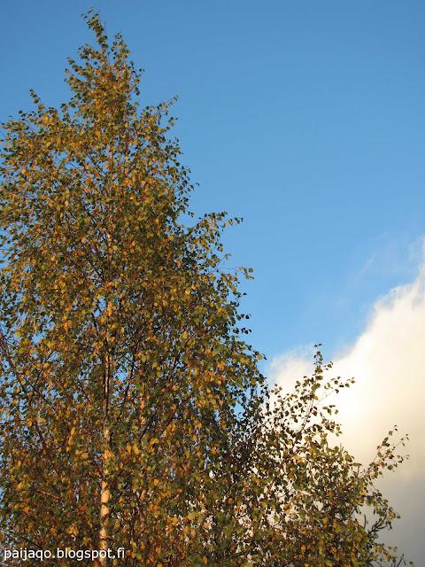 syksyinen koivu ja aurinkoinen päivä