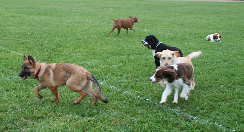 kira standing on green field, while a group of dogs, including cabana, play and interact behind her