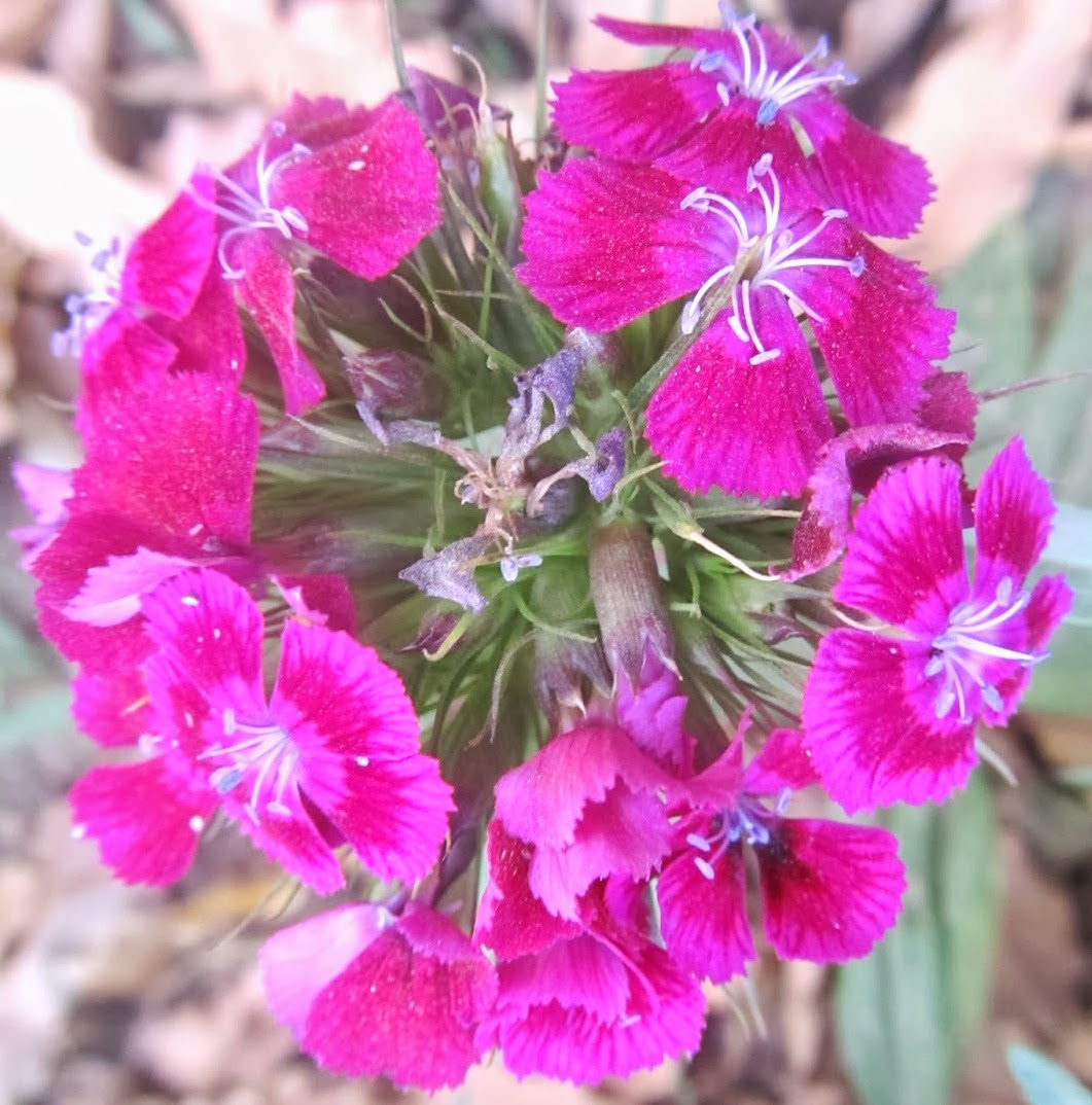 NATURAL & UNIQUE PHOTOGRAPHY SWEET WILLIAM FLOWER