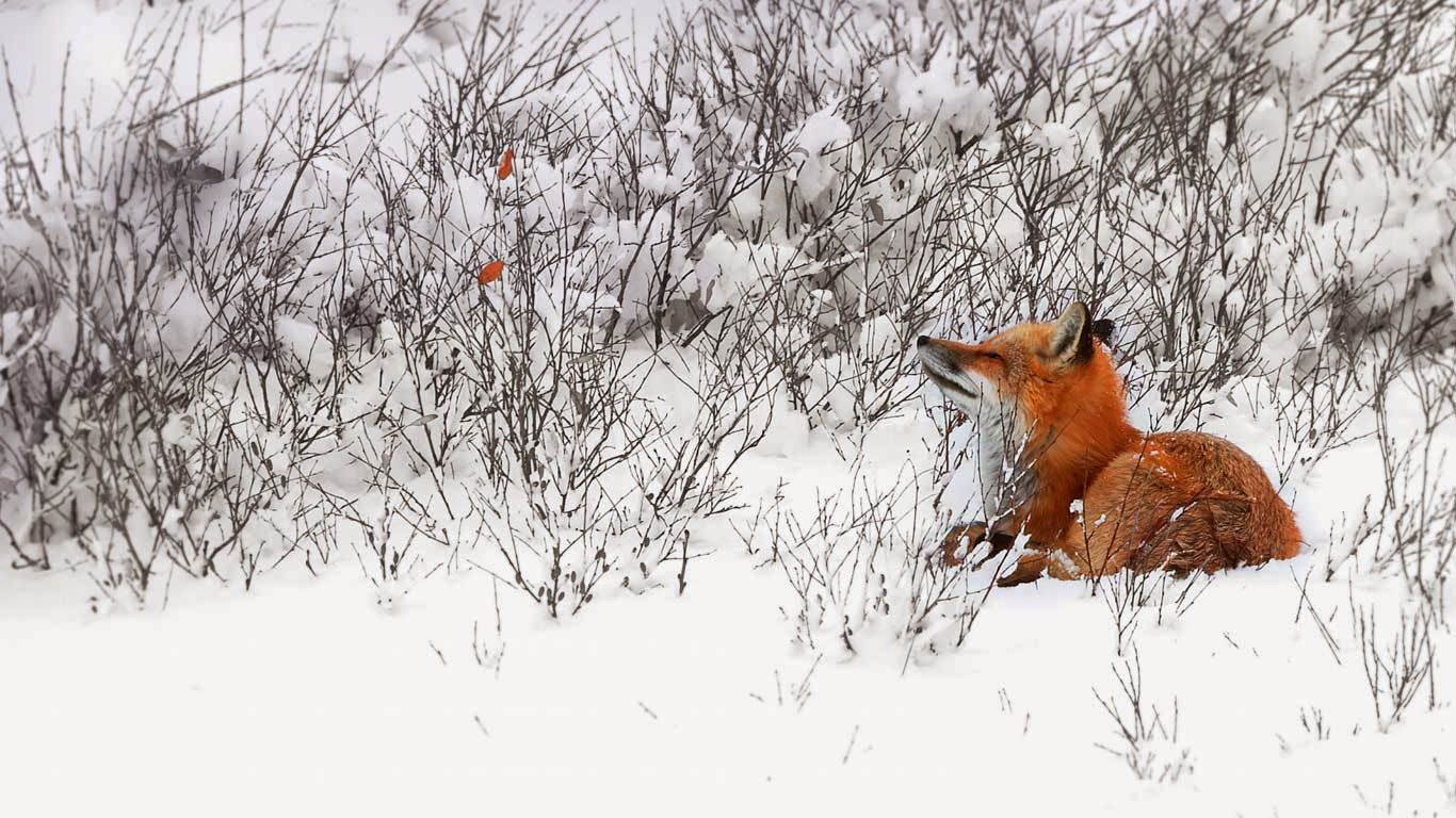 Red fox near Churchill, Manitoba, Canada (© MyLoupe/Universal Images Group/Getty Images) 330