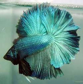 12 Type Of Betta Fish By Tail Types - Rosetail