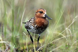 Spoon Billed Sandpiper (Photo Library)