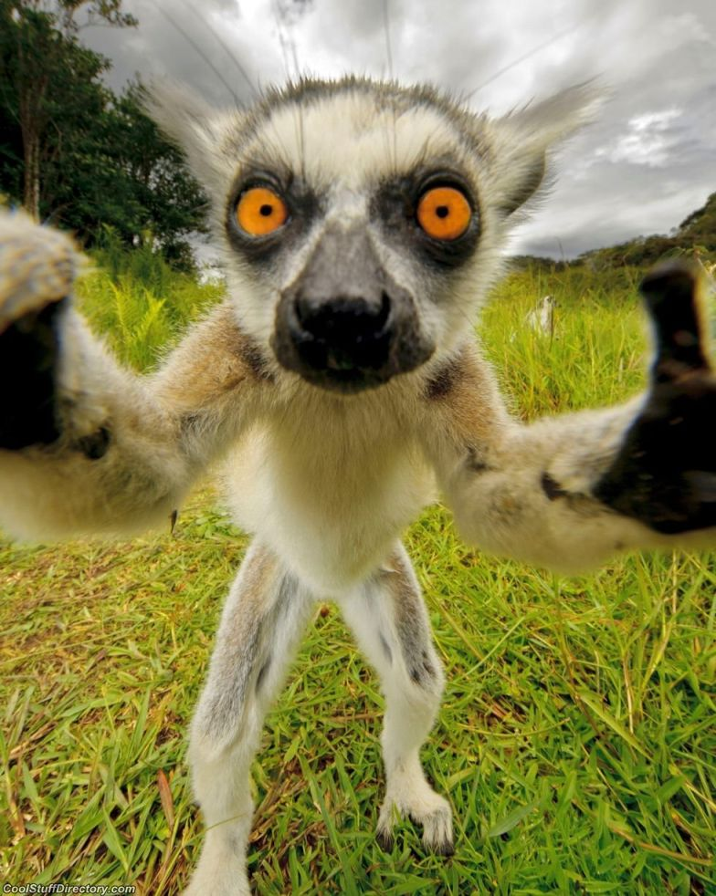 Self-portrait of lemur has already hit the Internet