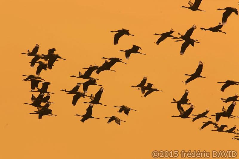 oiseaux animaux grues cendrées vol