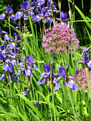 Iris sibirica Siberian Irises Alliums by garden muses-not another Toronto gardening blog