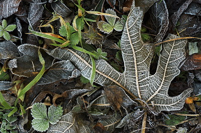 Closeup photo of a frosted fig tree leave in autumn