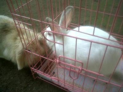 Cara Menyatukan Kelinci