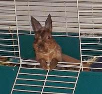 Samuel, Netherland Dwarf Bunny (2007-2014)