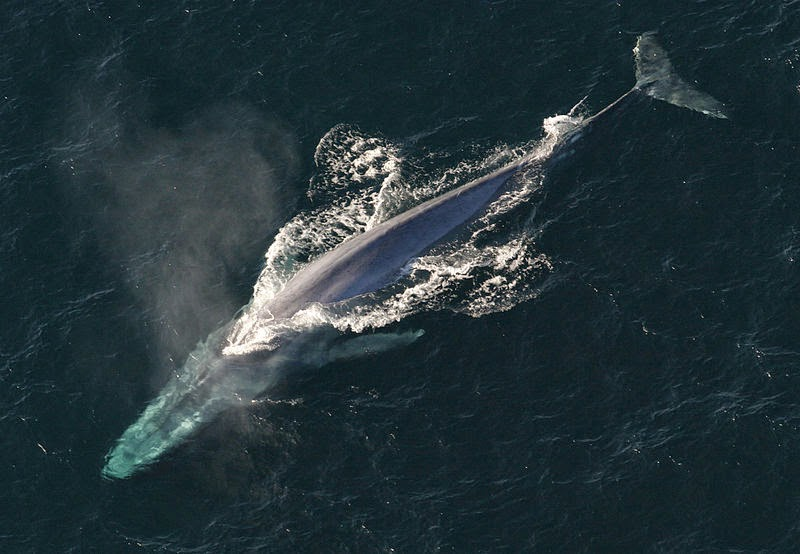 Hewan Terbesar di Dunia Blue Whale