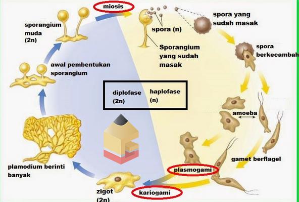 gambar siklus hidup jamur lendir hd
