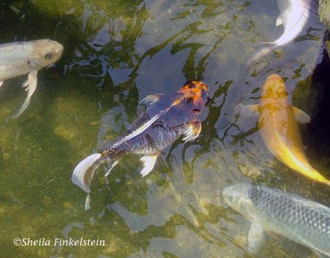 Genome research the genetics of koi fish for Real koi fish