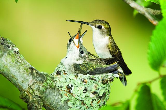 Ruby throated hummingbird baby - photo#6