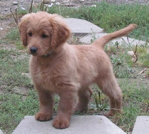 This is a fully grown Golden Cocker Retriever. In other words, a forever puppy