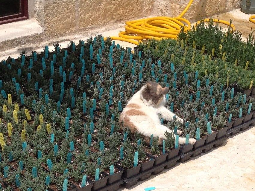 lavender cat - photo #6