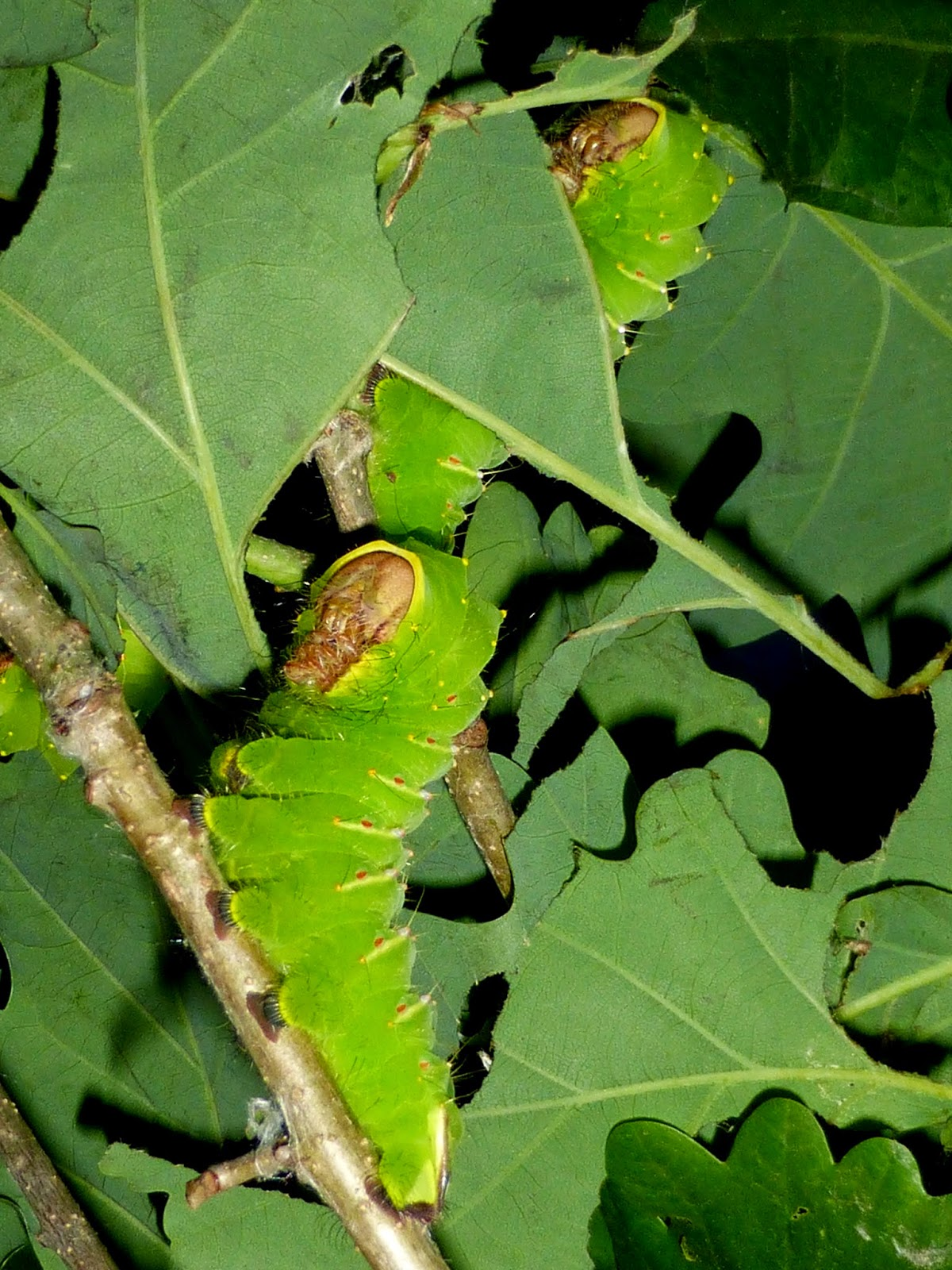 Antheraea polyphemus L5 caterpillars