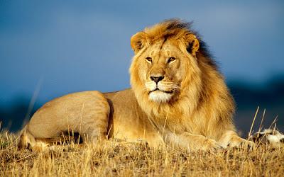 African Lion Yeni Hd 2.013 Duvar Kağıtları